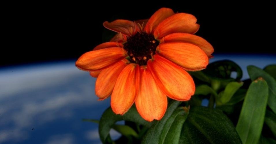 FLOR NO ESPAÇO - Astronautas da Estação Espacial Internacional (ISS) cultivaram com sucesso uma planta do tipo zinia no espaço. Em foto acima publicada no Twitter no último domingo (17), o astronauta Scott Kelly relata o momento em que o vegetal sai para tomar sol pela primeira vez. Dias antes, Kelly havia dito que era