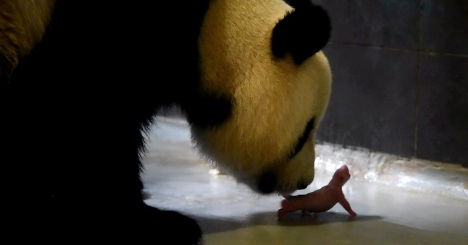 27.jun.2016 - O panda-gigante Xin Xin cuida de um bebê recém-nascido no pavilhão de pandas-gigantes em Coloane, Macau. Xin Xin teve dois filhotes gêmeos e machos no dia 26 de junho. O pavilhão ficou fechado desde o dia 14 para preparação do parto. O filhote maior nasceu pesando 138 gramas e está saudável, enquanto o menor apenas 53,8 gramas e foi levado para a UTI