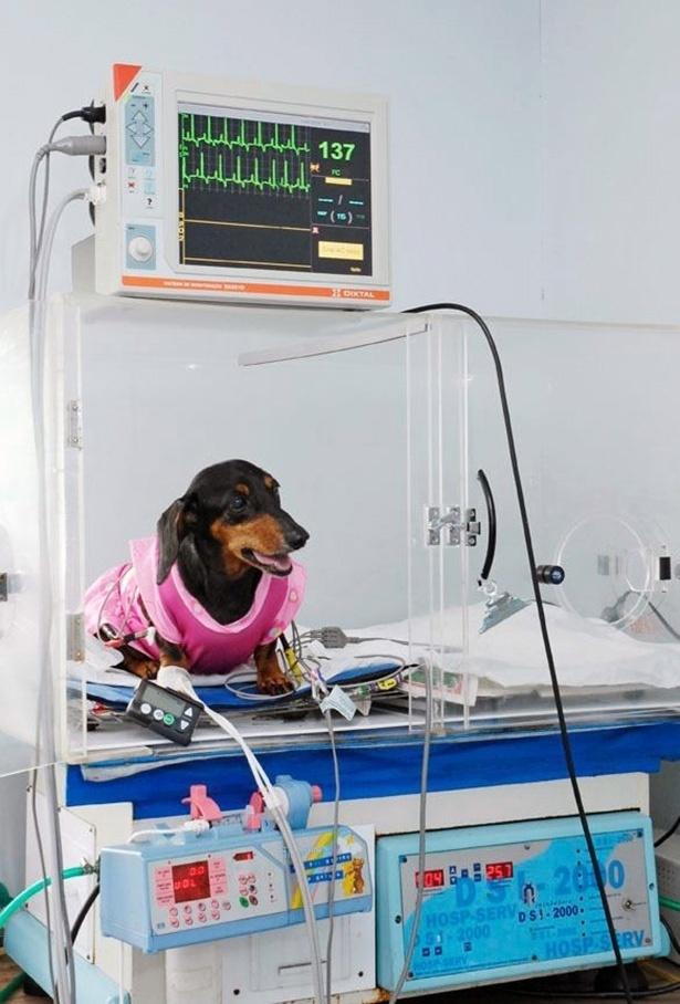 Hospital veterinário Sena Madureira, em São Paulo; cão com aparelho de monitoração contínua de glicose (importado do EUA) e gaiola de oxigenoterapia especial