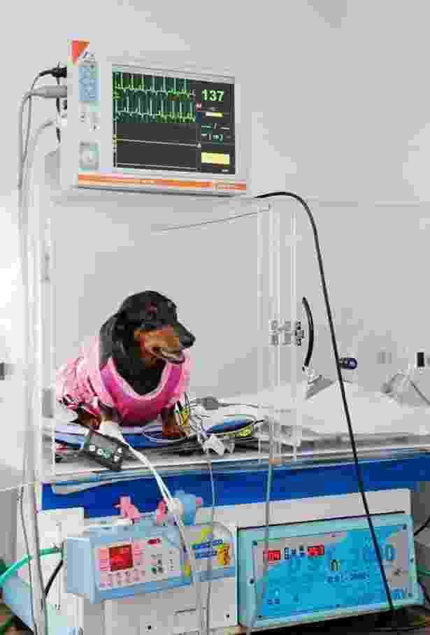 Hospital veterinário Sena Madureira, em São Paulo; cão com aparelho de monitoração contínua de glicose (importado do EUA) e gaiola de oxigenoterapia especial - Divulgação