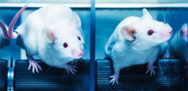 Sexo atua na mesma região do cérebro que anfetaminas e faz com que ratos machos recorram a drogas sintéticas na falta de atividade sexual diária - Getty Images/iStockphoto