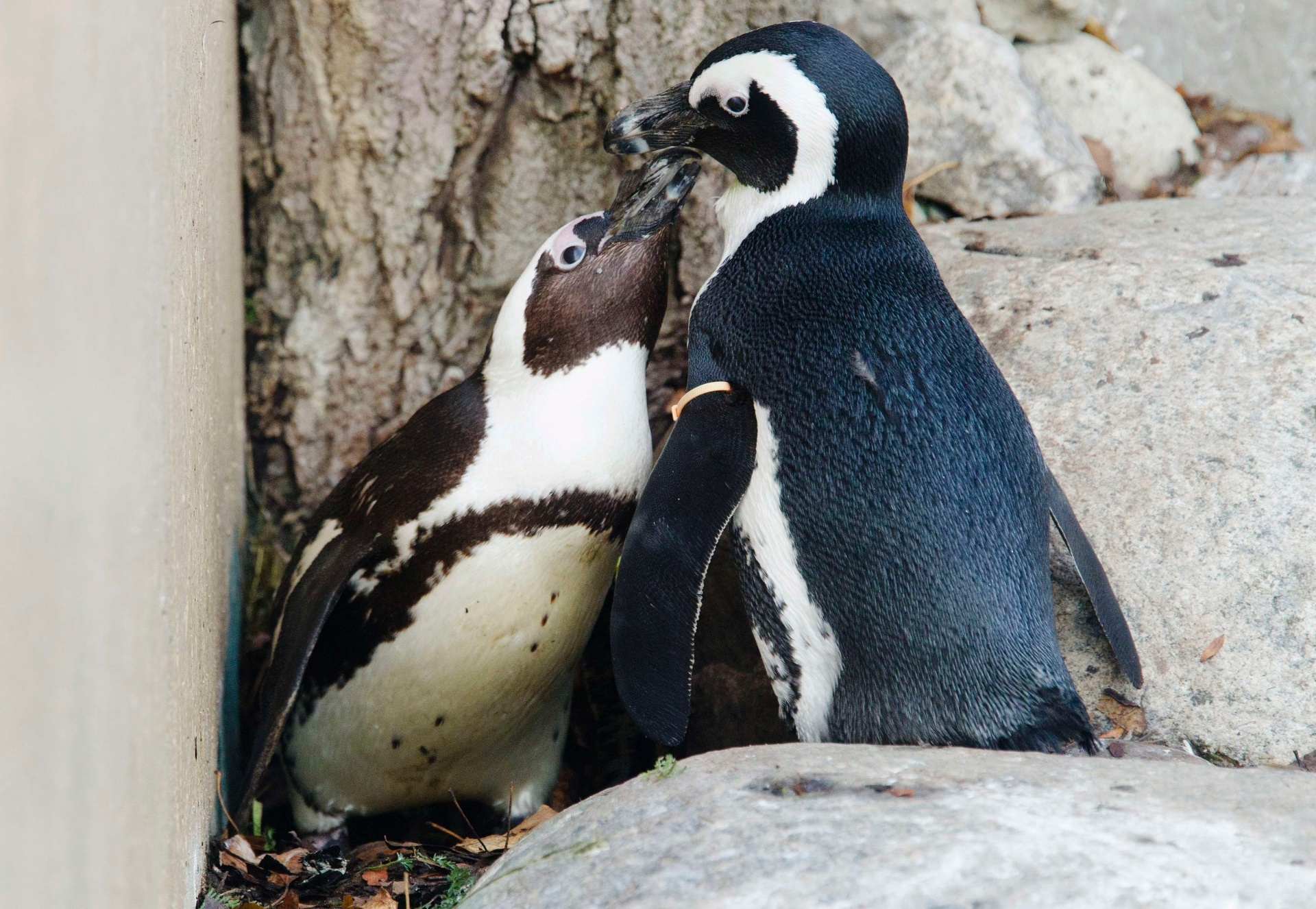 DIÁRIO SEXUAL FOI CENSURAD - O médico e biólogo George Murray Levick, que observou o comportamento dos pinguins entre 1910 e 1913, escreveu um diário da vida sexual desses animais que foi considerado