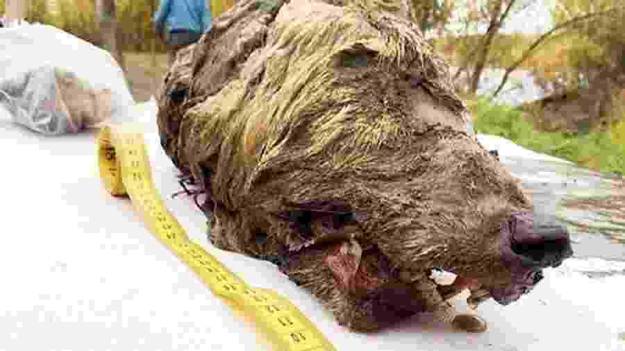 Cabeça tem 40 cm de largura e é muito maior que a de um lobo atual - Albert Protopopov