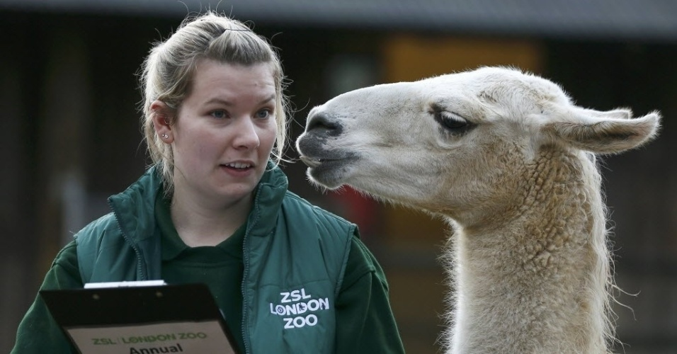 4.jan.2016 - Lhama mostra a língua para sua cuidadora Jessica Jones no zoológico de Londres, na Inglaterra