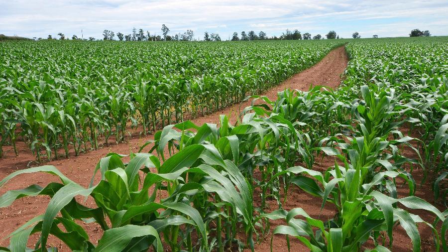Plantação de milho no estado de São Paulo - Embrapa