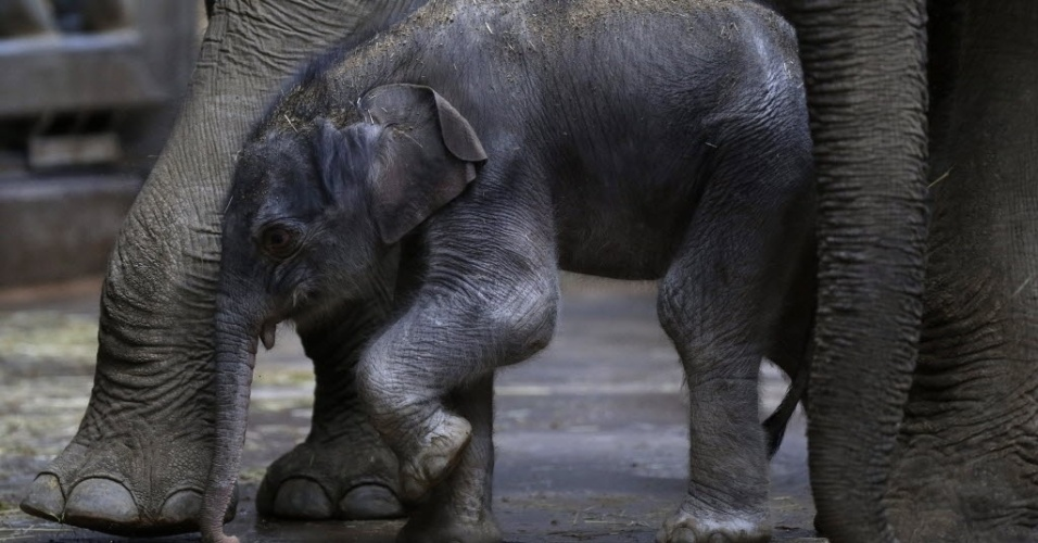 6.abr.2016 - Filhote de elefante faz primeira caminhada ao lado da mãe no zoológico de Praga, na República Tcheca
