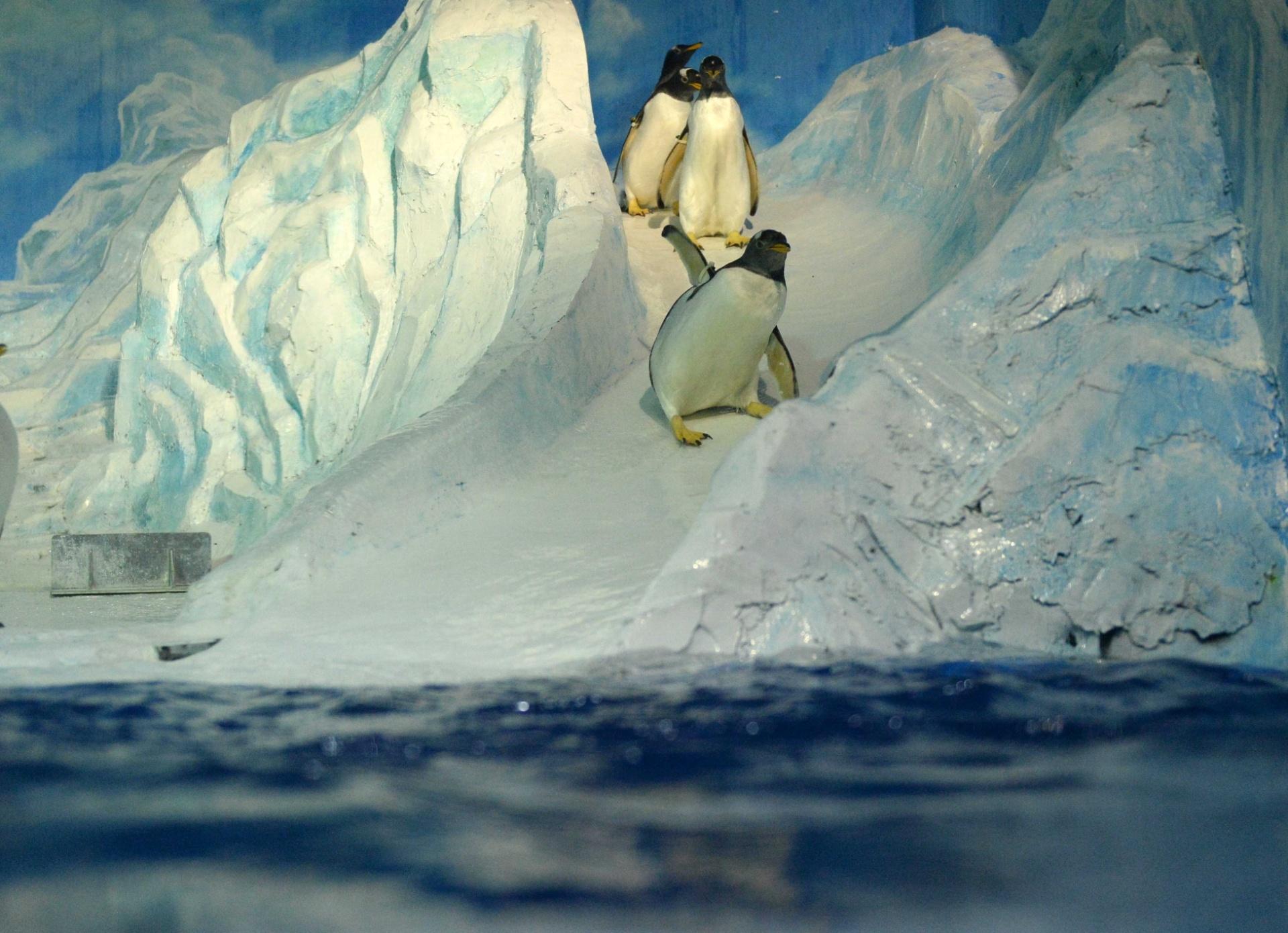 28.jul.2016 - Pinguim desliza em escorregador no aquário polar de Harbin, na China. O aquário investiu em plataformas de mergulho e escorregadores de gelo para ajudar os animais a escaparem do calor do verão