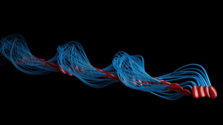 O movimento do saca-rolhas corrige a assimetria do nado de esperma e o impulsiona para frente - Polymaths-lab.com - Polymaths-lab.com
