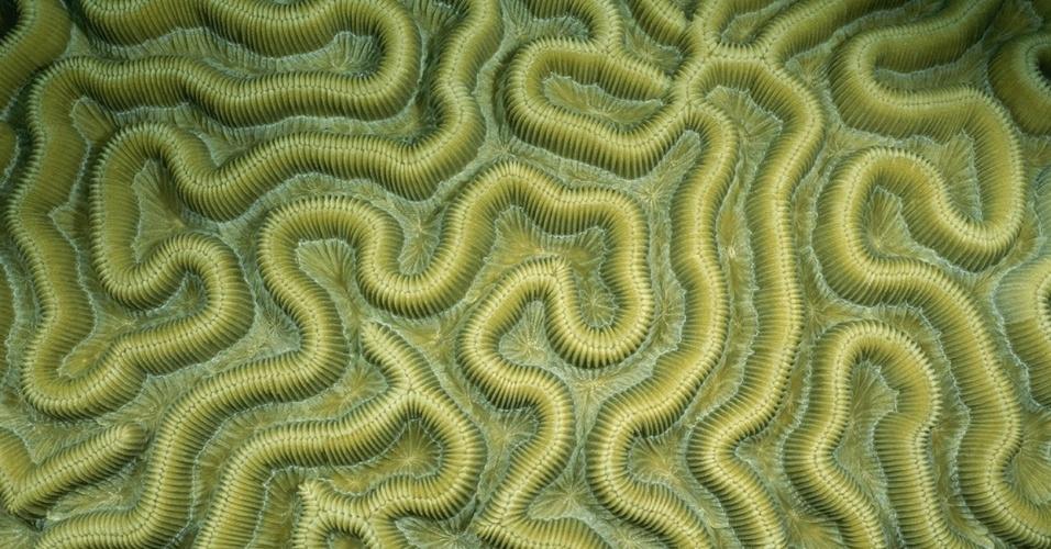 13.jun.2016 - Imagem retrata o coral-cérebro, que leva esse nome pela similaridade ao órgão humano vital. Apenas a parte mais externa do coral é viva, sendo o resto composto do esqueleto