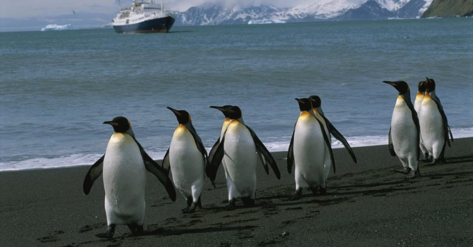 27.jul.2016 - Marcha dos pinguins. Pinguins-reais caminham pelas ilhas Geórgia do Sul. Com quase 1m, eles são os segundos maiores pinguins do mundo
