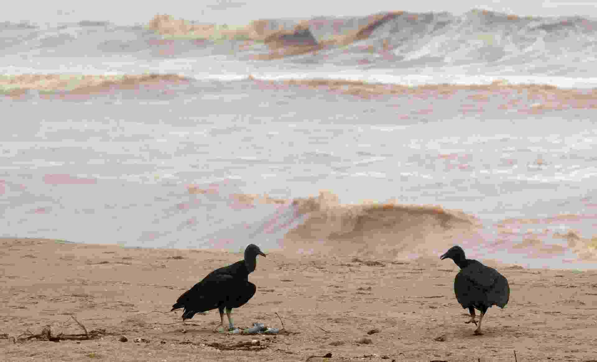 23.nov.2015 - Urubus comer peixes mortos encontrados na praia Povoação, perto da foz do Rio Doce), que foi inundado com lama após os rejeitos da barragem que se rompeu em Mariana (MG) atingirem o litoral do Espírito Santo - Ricardo Moraes/Reuters