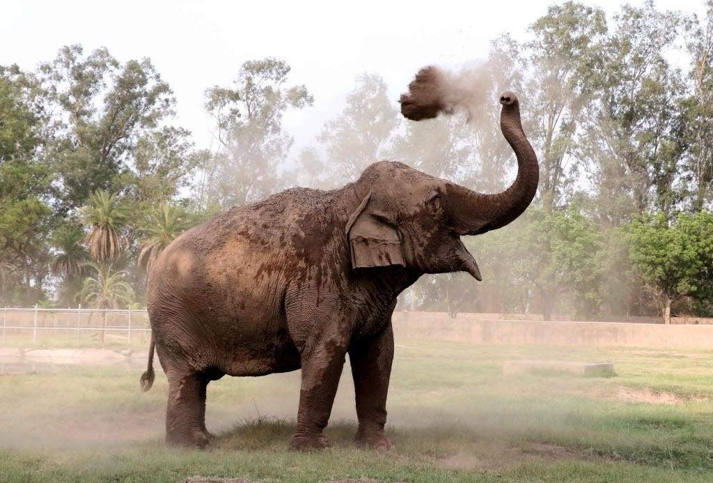 18.abr.2016 - Elefante indiano usa a tromba para jogar terra sobre seu corpo no zoológico de Zirakpur Chattbira, em Chandigarh, na Índia. Os elefantes costumam se banhar com terra. A terra funciona como um protetor solar e também livra o animal dos parasitas
