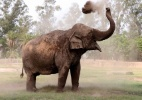 Encontrar comida, parceiros, caçadores e até bombas: o nariz do elefante tem diversas utilidades - AFP