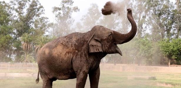 Elefante indiano no zoológico de Zirakpur Chattbira, em Chandigarh, na Índia