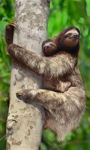 27.jul.2016 - Juntinhos! Preguiças na ilha Barro Colorado no Canal do Panamá. Nativas das Américas Central e do Sul, estes animais tem 3 dedos e dormem mais de 18 horas por dia