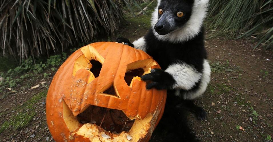 28.out.2016 - Um lêmure, animal típico da ilha de Madagascar, brinca com uma lanterna de abóbora no zoológico de Torino, na Itália. A abóbora simboliza o Halloween, que ocorre na próxima segunda-feira