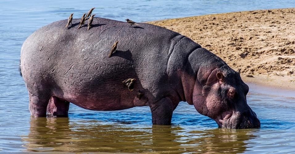 Buphagus empoleirados em um hipopótamo no Parque Nacional de Serengeti, na Tanzânia. Buphagus acham comida fácil nas costas dos hipopótamos, onde se fixam inúmeros parasitas