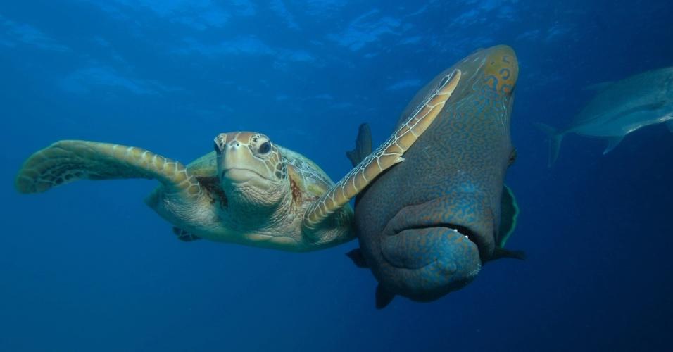 """Tartaruga espaçosa - Essa tartaruga deu um tapa na cara de um peixe que passava ao seu lado no mar de Bacong, nas Filipinas. Foi a vencedora na categoria especial """"Mar"""". O objetivo da competição é lançar luz nos esforços de conservação da vida selvagem com uma injeção de humor nas fotografias desse universo"""