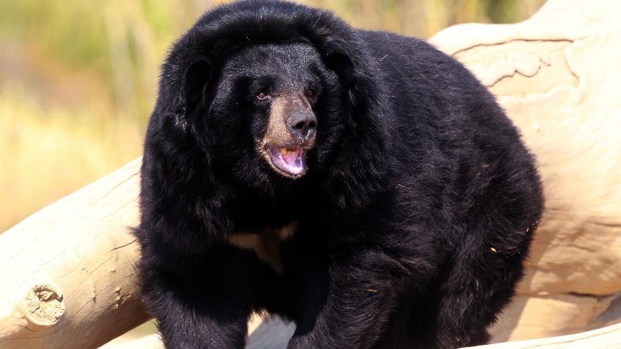 """Imagem ilustrativa; urso-negro foi filmado """"vocalizando"""" em uma árvore e o compararam ao Chewbacca de """"Star Wars"""" - Raymond Roig/AFP"""