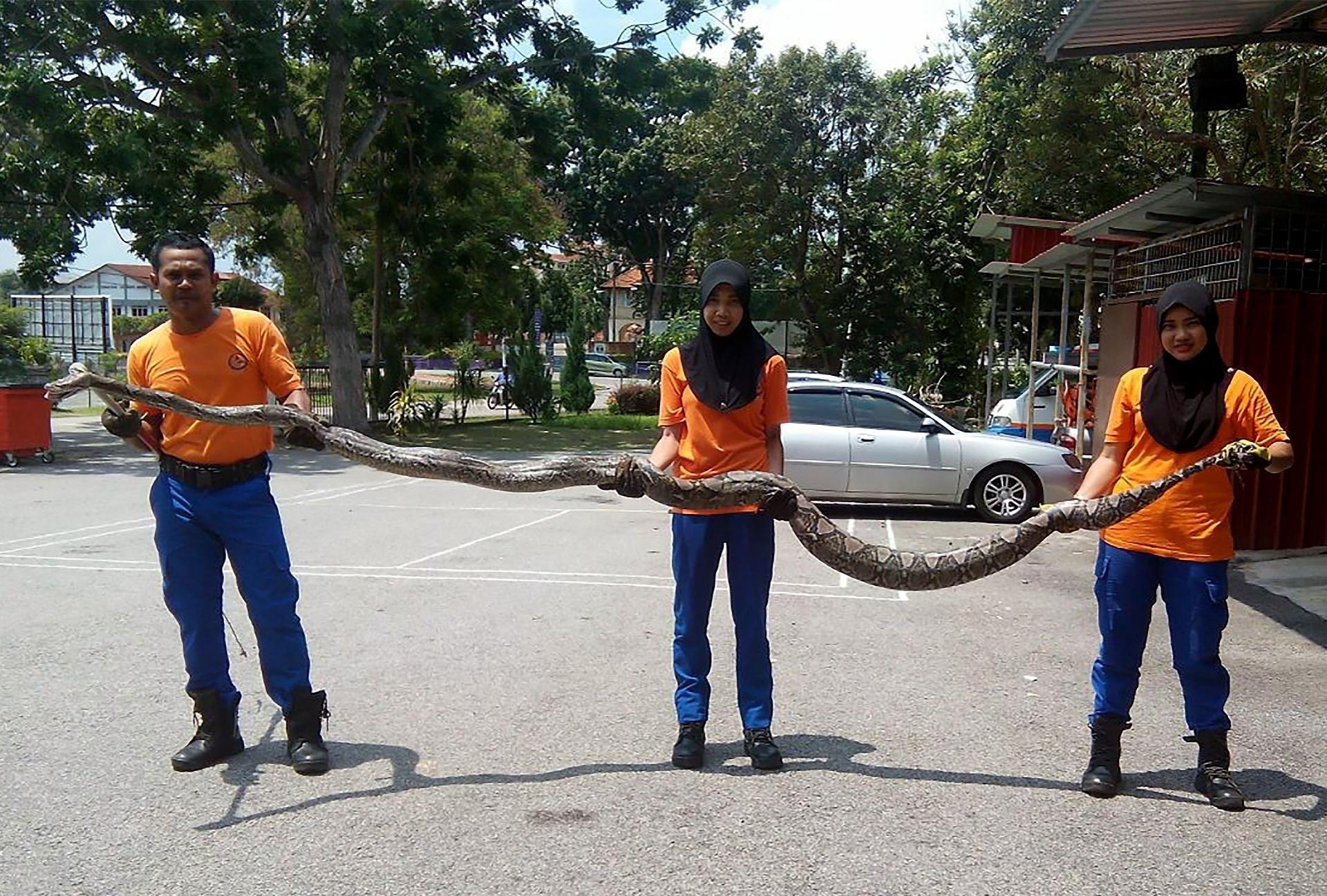 10.mai.2016 - Cobra píton de 3,7 metros é capturada em estação de telecomunicações em Malacca, na região de Kuala Lumpur, na Malásia