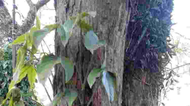 Há uma média de duas epífitas em cada árvore nativa ou plantada - Andrea Vasconcellos Crespo