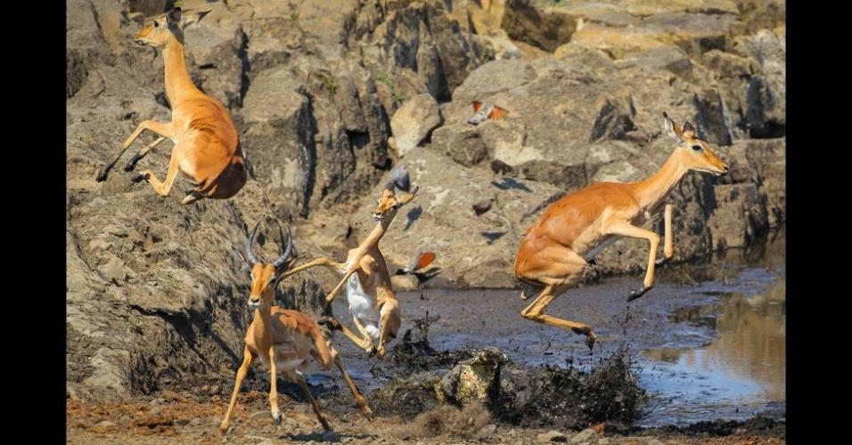 """4.abr.2016 - """"Sempre que um impala ficava a seu alcance, o crocodilo pulava para fora d'água. Nas horas em que eu passei ali, houve cinco tentativas, mas todas as vezes os impalas escapavam."""""""