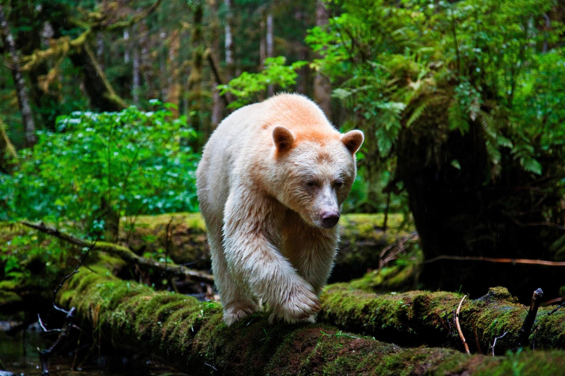 8.set.2016 - Um urso de Kermode caminha na floresta do Grande Urso, na Columbia Britânica, Canadá. Este animal raro é, na verdade, um urso negro com pelagem clara