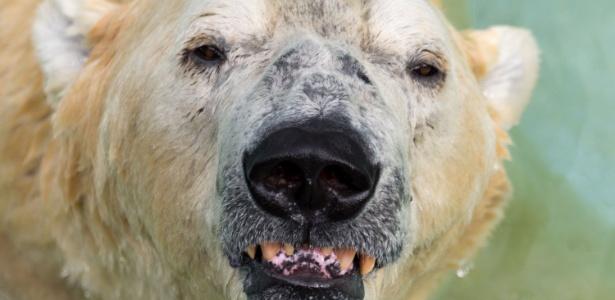 Inuka foi o primeiro urso polar nos trópicos e vivia em um zoológico em Singapura - Toh Ting Wei/AFP
