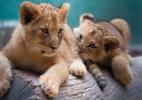 Zoológico de SP faz votação para escolha de nome de filhotes de leão (Foto: Zoológico de São Paulo)
