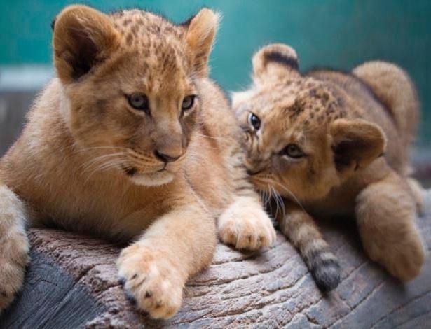 As duas pequenas leoazinhas da espécie Pantheraleo no zoológico de São Paulo - Zoológico de São Paulo