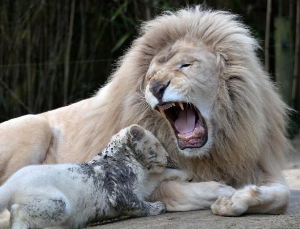 8.mar.2016 - Yabu, pai desse filhotinho de leão branco de três meses, ruge do lado da cria em um zoológico em La Fleche, no noroeste da França