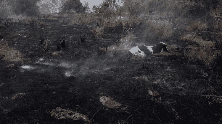 Vaca presa pelo fogo - AHMAD JARRAH - AHMAD JARRAH