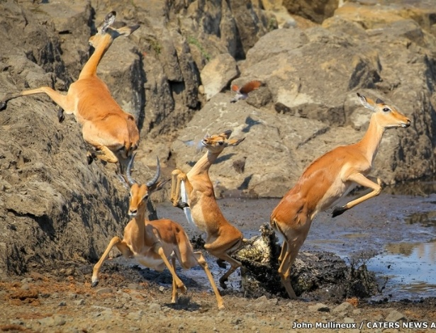 4.abr.2016 - Um grupo de impalas - um tipo de antílope - teve que se desdobrar para fugir de um crocodilo que estava escondido nas águas de um rio no Parque Nacional Kruger, na África do Sul
