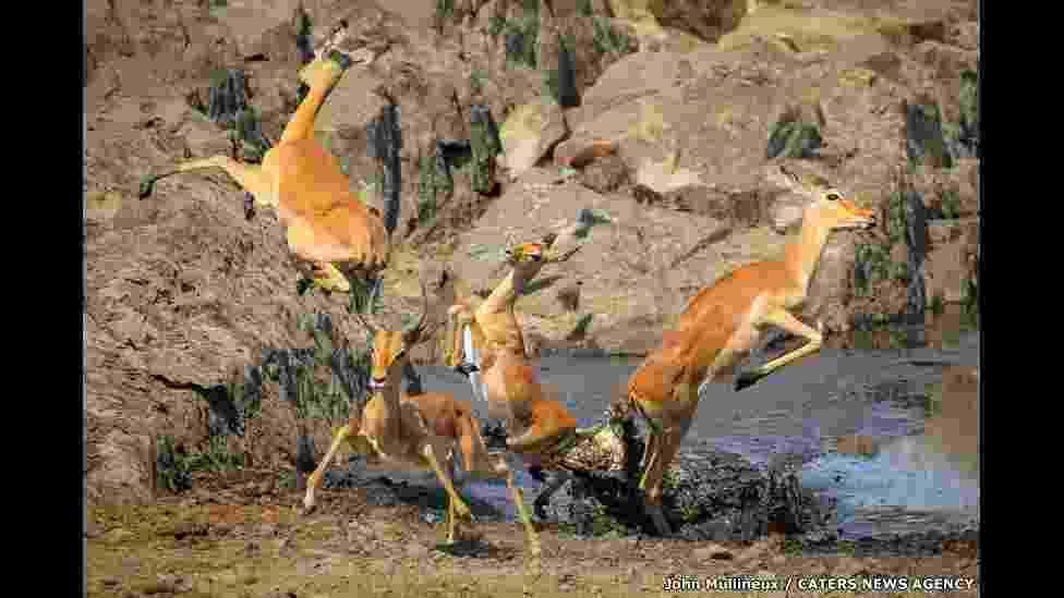 4.abr.2016 - Um grupo de impalas - um tipo de antílope - teve que se desdobrar para fugir de um crocodilo que estava escondido nas águas de um rio no Parque Nacional Kruger, na África do Sul - John Mullineux/Caters/BBC