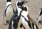 Casal de pinguins gays rouba ninho de casal lésbico e tenta chocar os ovos - Instagram/@dierenparkamersfoort