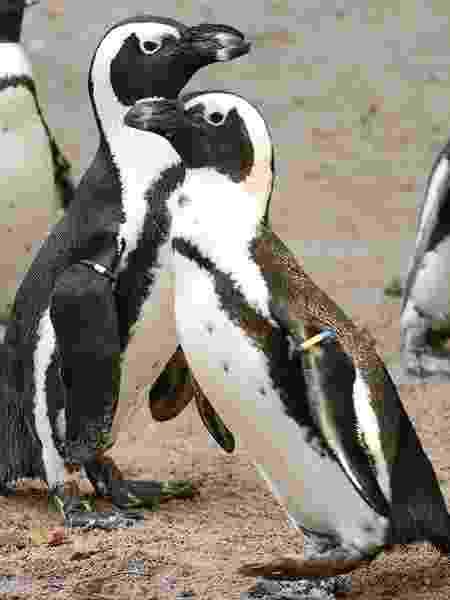 Os machos já havia raptado um ovo de pinguins héteros, mas não conseguiu ter filhos - Instagram/@dierenparkamersfoort