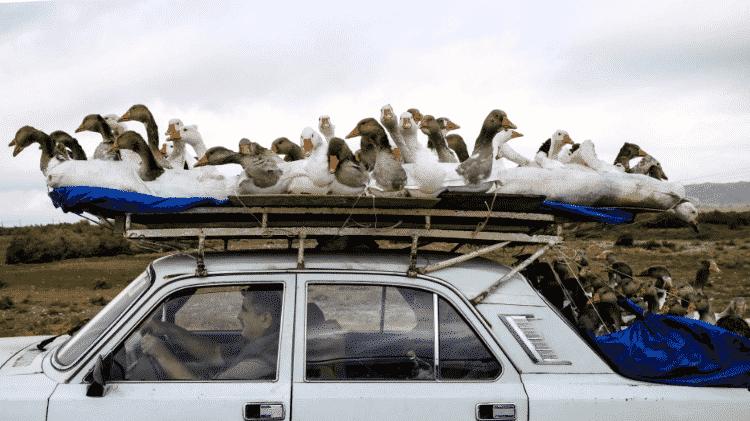 Bando de gansos se dividia entre teto e porta-malas para caber em veículo no Azerbaijão - Reprodução/Twitter - Reprodução/Twitter