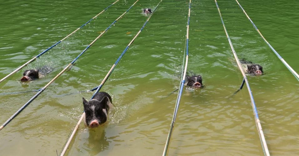 5.out.2016 - Sim, isto que você está vendo são porcos nadando. Os animais participaram de competição de natação em um parque temático de Guangzhou, na China. Houve até mergulhos dos porquinhos