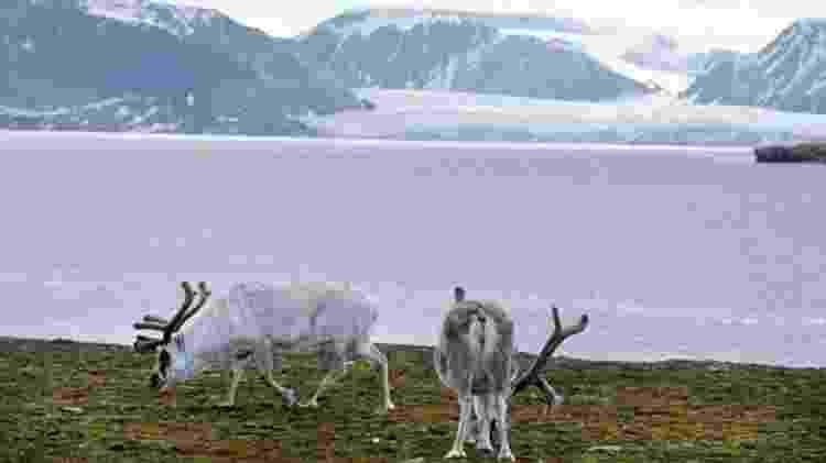 As renas de Svalbard são uma tábua de salvação para a raposa do Ártico - Getty Images/BBC