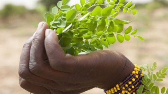 20.jan.2016 - A moringa tem propriedades nutritivas, mas médicos advertem que não deve ser usada indiscriminadamente