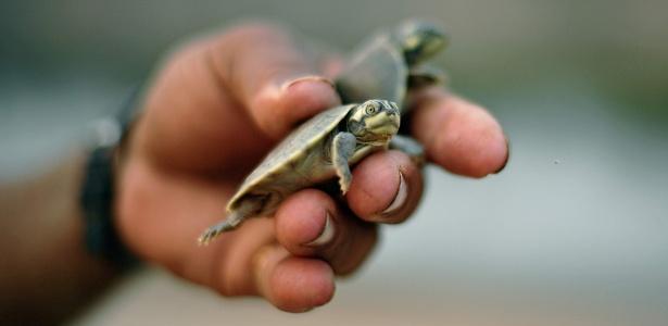 Voluntário segura um filhote de tartaruga em uma praia próxima à comunidade Volta do Bucho, na Amazônia