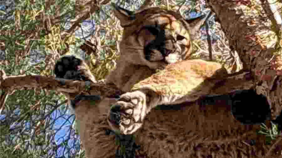 Um morador da Califórnia avistou um gato gigante no topo de uma árvore do seu jardim. Quando os bombeiros chegaram, viram que se tratava de um puma - Departamento de Peixes e Animais Selvagens da Califórnia/BBC