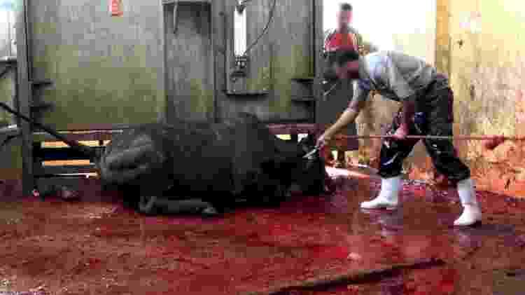 Após ser encurralado, animal é esfaqueado em abatedouro no Oriente Médio - Divulgação/Mercy For Animals