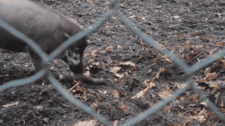 Javalis das Visayas utilizam ferramentas para cavar seus cercados em um zoológico de Paris - Reprodução