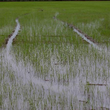 10.set.2020 - Vista de plantação de arroz na zona rural de Araranguá (SC) - Guilherme Hahn/Estadão Conteúdo