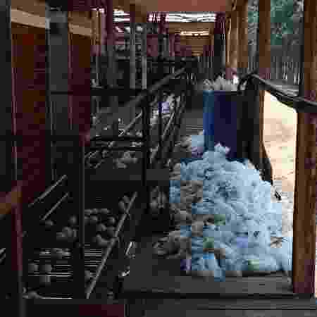 Forte calor mata galinhas em Bastos (SP) - Arquivo pessoal/Sérgio Kakimoto
