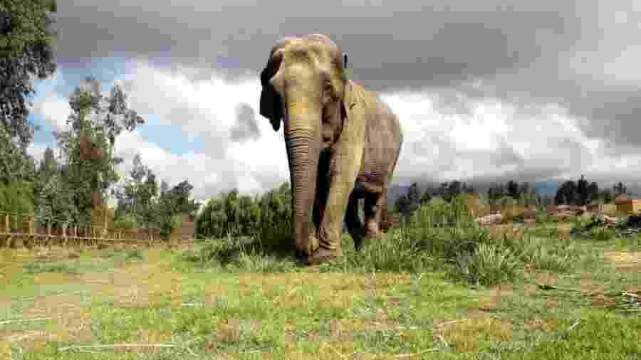 Ramba no Chile, antes de viajar ao Brasil; animal tem cicatrizes e problemas renais crônicos decorrentes de décadas de maus-tratos - DIVULGAÇÃO/SEB