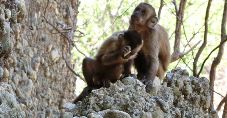 Macacos-prego usam pedram e conseguem criar ferramentas na Serra da Capivara