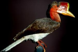 Ameaçada de extinção, ave rara tem cabeça mais valiosa que marfim