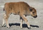 Filhote de bisonte é sacrificado após ser